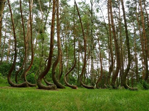 crooked forest west pomerania poland mother nature at 7 of the world s natural mysteries that are yet to be