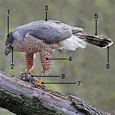 how to make cooper s hawk identification