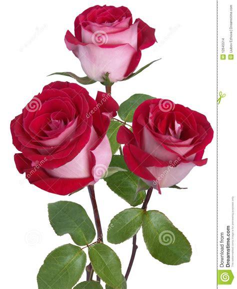 imagenes de rosas solas rosas rojas imagenes de archivo imagen 12645514