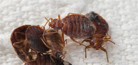 treating for bed bugs treating bed bugs 28 images best 20 bed bugs treatment