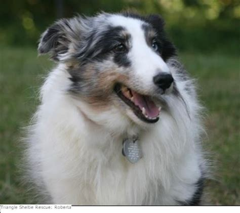 rescue nc 1000 images about shelties on