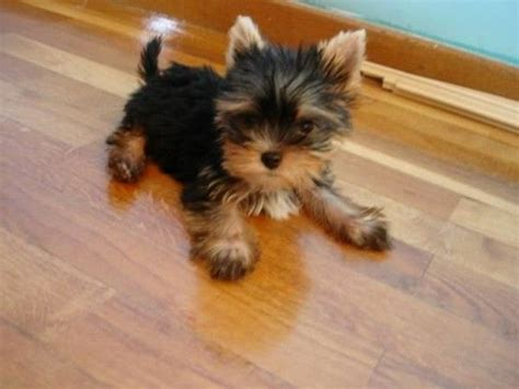 teacup yorkie stuffed animal 25 best ideas about mini yorkie on teacup yorkie teacup and