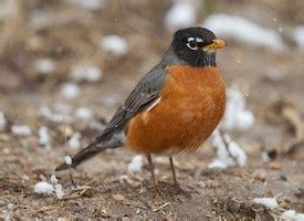 american robin identification all about birds cornell