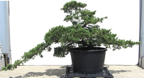 Japanischer Ahorn Kaufen 117 by Produkte Gartenbonsai Verschiedene Gartenbonsai