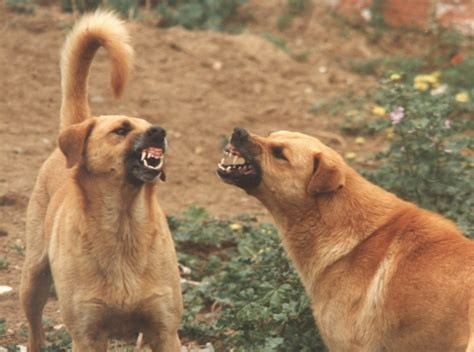 aggression in dogs how to stop dominance aggression in dogs the bully breeds