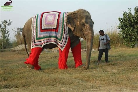 Elephant Sweater villagers knit sweaters for chilly elephant