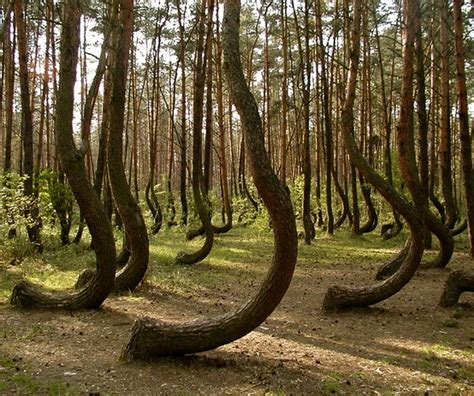 crooked forest poland poland s mysterious crooked forest photo on sunsurfer