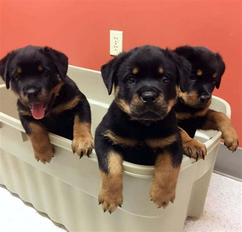 rottweiler puppies in rottweiler puppies rottpups