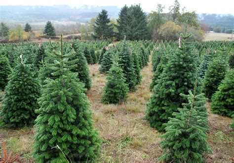 catchy collections of oregon christmas tree farms