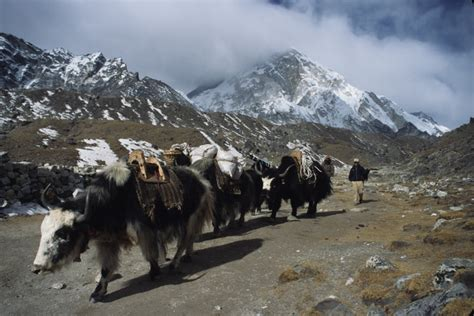 yak growing up in the remote dolpo region of nepal books yaks in the himalayas trekking in everest nepal