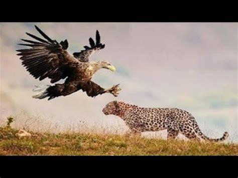 real fight lion  eagle jackal leopard baboon hyena lion compilation youtube