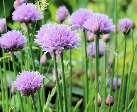 erba cipollina in vaso come coltivare l erba cipollina coltivazione