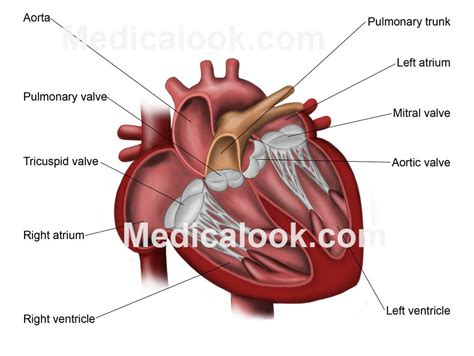human valves diagram anatomy valves geoface c7784ee5578e