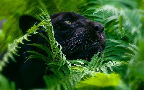 jungle animals black panther wallpaper 777467