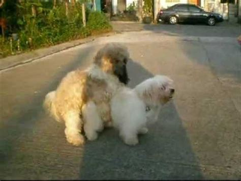 shih tzu mating lhasa apso and shih tzu mating