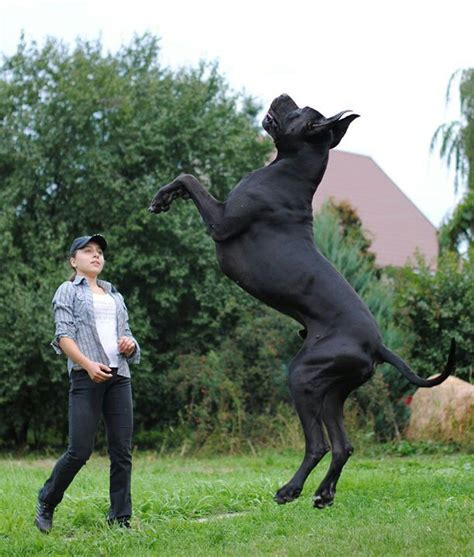 gran danes 393 best gran danes images on big dogs beautiful and gentle