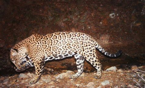 what state are the jaguars from el jefe jaguar