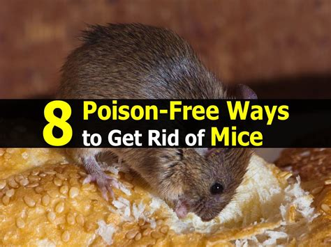 8 poison free ways to get rid of mice