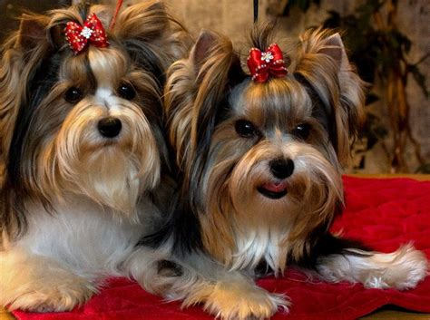 biewer terrier haircuts biewer yorkshire terrier beiwer yorkies pinterest