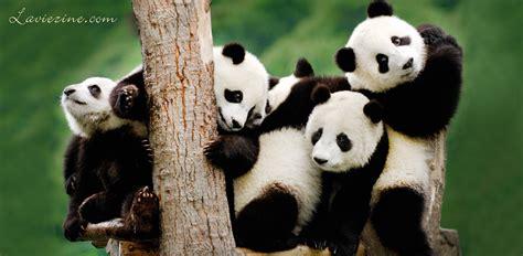 panda china 5 top places to see pandas in china la vie zine