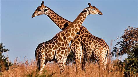 ver imagenes jirafas 5 fascinantes curiosidades sobre las jirafas