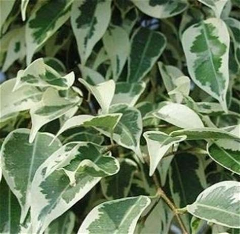Ficus Benjamin Cura by Rinvaso Ficus Benjamina Domande E Risposte Piante
