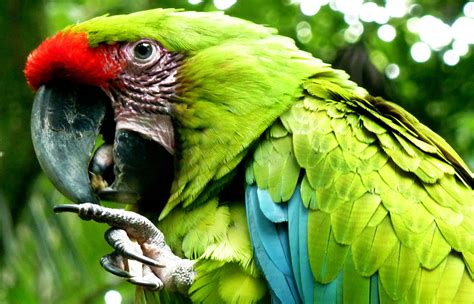wallpaper of green parrot download wallpaper beautiful green parrot download photo