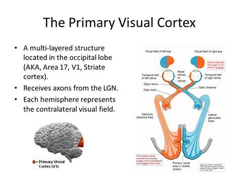 visual cortex diagram brain diagram primary visual cortex images how to guide