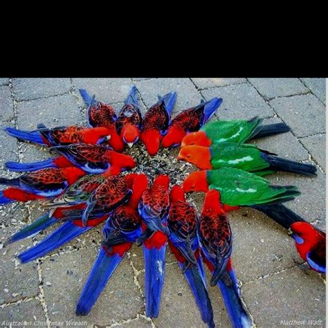 australian christmas wreath crimson rosella s king
