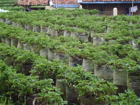 Jual Bibit Stroberi Bandung jual stroberi segar harga murah bandung oleh fc agro