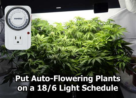 best grow lights for flowering best light schedule for auto flowering strains grow
