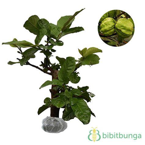Tanaman Strawberry Guava Jambu Leci tanaman strawberry guava jambu leci bibitbunga