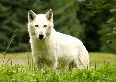 when were dogs domesticated mhc variability suggests that dogs were domesticated from a large number of wolves