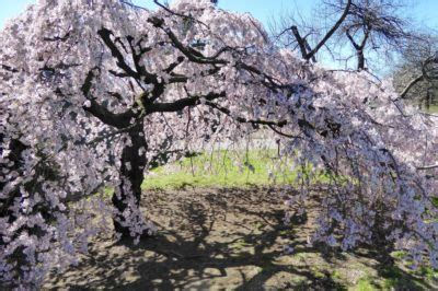 cherry tree care weeping cherry tree care 187 for happy healthy