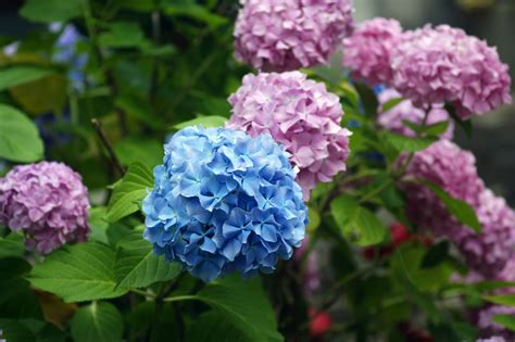 are hydrangeas poisonous to dogs 8 popular garden plants that are incredibly poisonous davidwolfe