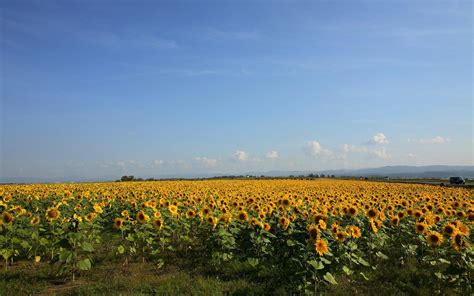 sunflower fields sunflower field wallpaper 479885