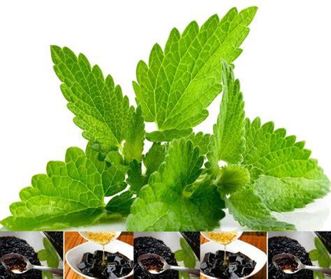 tanaman cincau hitam janggelan bibitbungacom