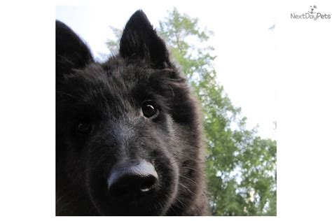 belgian sheepdog puppies for sale belgian sheepdog puppy for sale near youngstown ohio 027e4935 a951