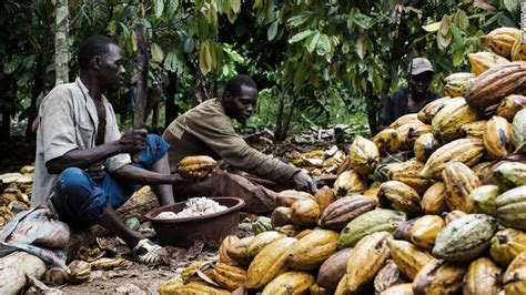 Small Plant Supports by Cocoa Nomics Why Chocolate Really Doesn T Grow On Trees