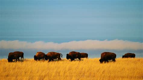 amerikanischer herd american bison