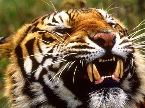 gambar wallpaper anak harimau wallpaper dan gambar harimau berukuran besar