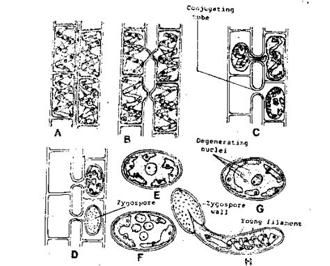 spirogyra reproduction diagram biology notes 11 12 spirogyra