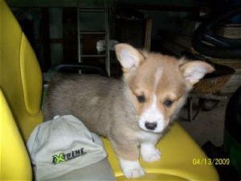 puppies for sale in washington dc pembroke corgi puppies in washington dc