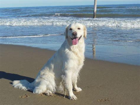 golden retriever siren photo elevage de la montsia eleveur de chiens golden retriever