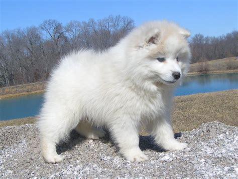 American Eskimo Dog History, Personality, Appearance