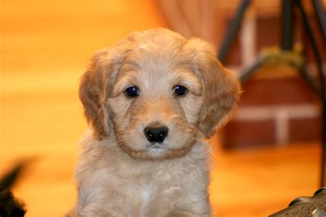 dogs 101 puppies wool labradoodles labradoodle breeders in massachusetts labradoodles in new