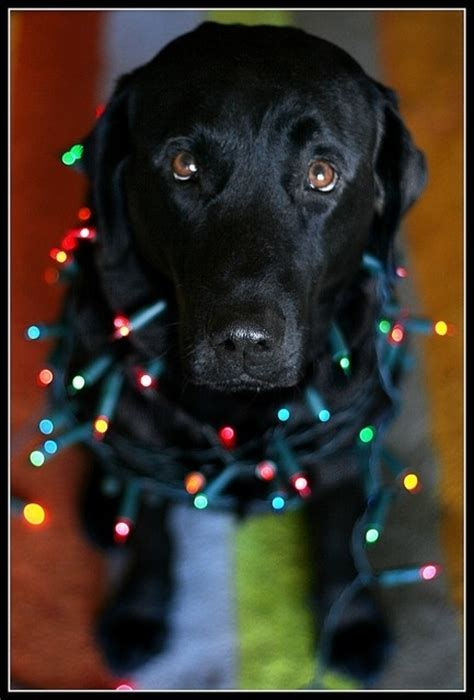 juicy dog couture christmas lights black lab