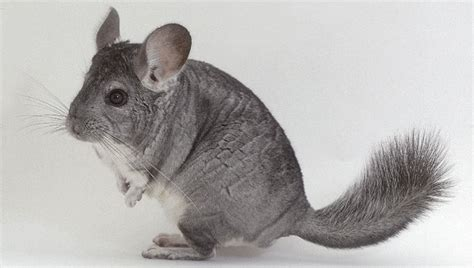 Chinchilla animals pictures