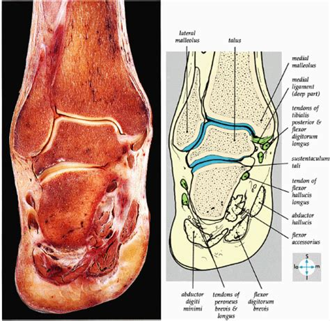 fluid in feet after c section the ankle and foot musculoskeletal key