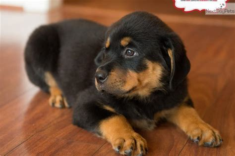 rottweiler puppies for sale in san antonio german rottweiler breeds picture